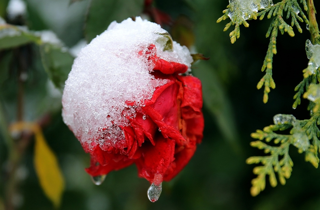 afp. hét képei - 2016.01.25. Maďfoűq, Libanon, havas rózsa, A picture take on January 25, 2016 shows a rose covered with snow in the Lebanese village of Maifouq, northeast of the capital Beirut.