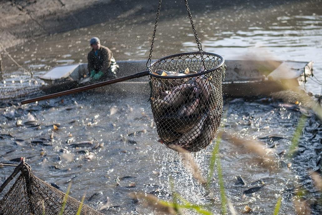 Megkezdődőtt az őszi lehalászás a Hortobágyi Halgazdaságban, Hortobágy község, 2013. október 22.