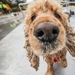 Az ELTE kutatói összefüggést találtak a kutyák öregedése és bélbaktériumai között