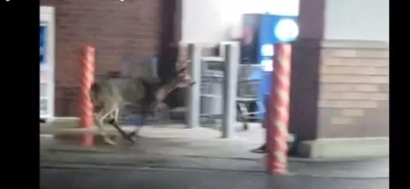 Egy szarvas benézett egy áruházba (videó)