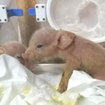 Kínai tudósok legyártottak egy állatot, amely disznó és majom egyszerre