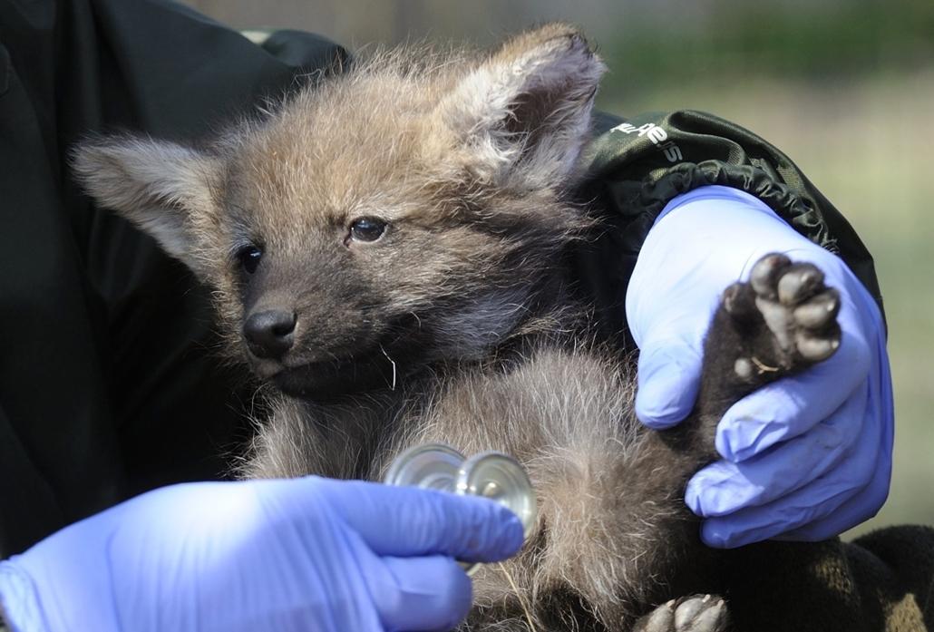 NE HASZNÁLD!   hét képei - 16.03.18. - Szeged: Egy hathetes sörényes farkas (Chrysocyon brachyurus) a Szegedi Vadasparkban 2016. március 18-án. Az állatkertben három sörényes farkas született, a faj jelenleg máshol nem látható Magyarországon.