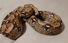 Óriáskígyót találtak az út menti árokban Dunaharasztiban