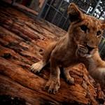 Képzelje el, hogy kocog, majd egyszer csak belebotlik egy oroszlánkölyökbe
