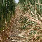 A TV2-t bevitték a kukoricásba? A mezőőr perelni akar - videó