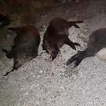 Egyszerre három vaddisznót gázolt el egy autós Piliscsabánál