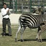 Elfogadták társai a kis veszprémi zebracsikót