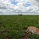 Fotók: Ijesztően sok antilop pusztult el egy rejtélyes kórtól Kahazsztánban