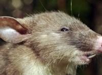 A városban élő patkányok igazi gourmet-k a vidékiekhez képest