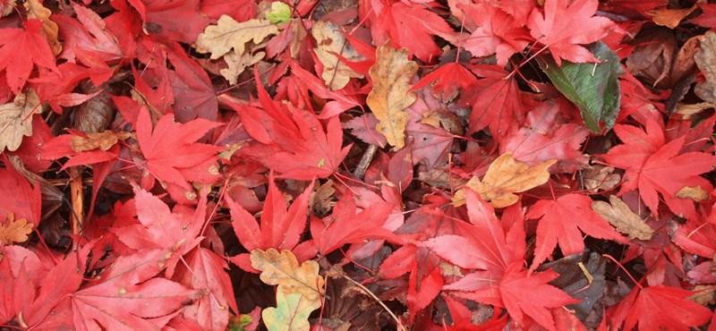 Tudta? Ettől olyan gyönyörűek az őszi falevelek