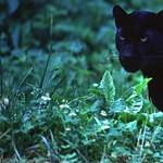 Száz év után először fotóztak fekete párducot Afrikában