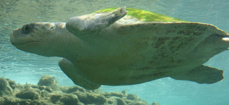 Algavirágzás miatt pusztulhatott el 101 tengeri teknős Dél-Mexikóban