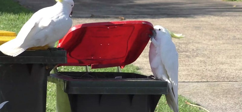 Super smart cockatoo teach each other how to catch food from trash cans in Australia - video