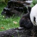 Lázban ég Berlin: óriáspanda-ikrek születtek az állatkertben
