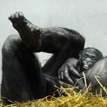 Öreg majomrokonaink is hasonló problémákkal küzdenek, mint az idős emberek