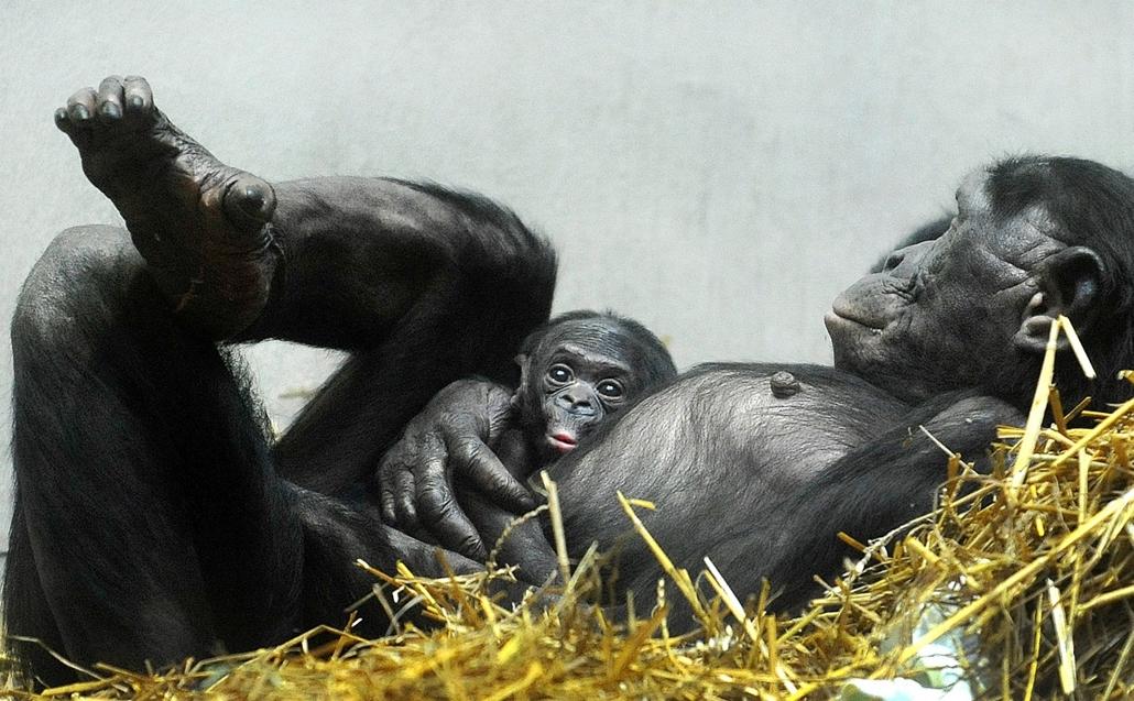 20140301007 - afp.14.02.26. - Wuppertal, Németország: újszülött Bonobó a város állatkertjében - a hét képei