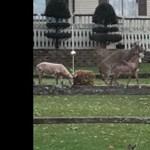Alaposan rágerjedt egy szarvas a szobrokra – videó
