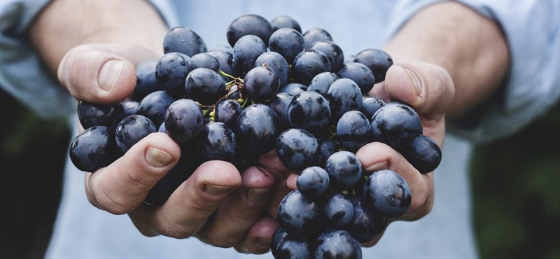 Magyar kutató mentheti meg a bort a klímaváltozástól