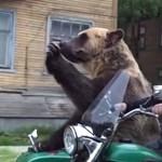 Szürreális videó: egy hatalmas élő medve utazott egy motoron a forgalomban