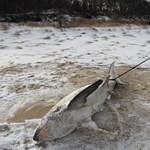Sorra fagynak meg a cápák Amerikában