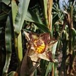 Gondolta volna ezt a kukoricáról? És Magyarországról?