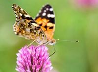 Kiderült egy rovarról, hogy 12-14 ezer kilométert is képes megtenni