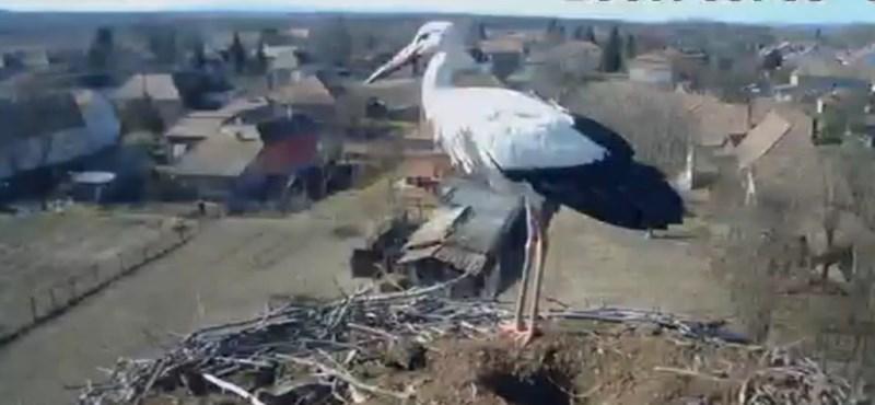 Mégsem pusztult el Báró, a gólya, ahogy hitték, hanem megérkezett őrhalmi fészkébe
