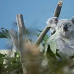 A mindennapi súlymérés is hozza a cukifaktort a pesti koaláknál – videó