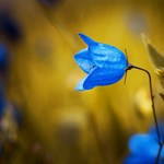 Miért olyan ritka a kék virág?