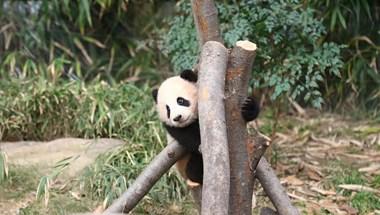 Milliós nézettséget hozott egy túlságosan is ragaszkodó panda videója