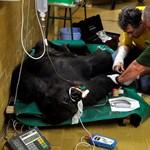 Összeveszett apjával, inkább Lengyelországba költöztetnek egy budapesti gorillát
