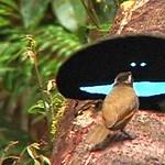 Ez az a madár, amelynek tollazata elnyeli a fény 99,95%-át – fotók