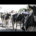 Videó: Ezer tehenet engednének szabadon a gazdák Budapesten