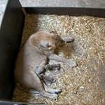 Megette újszülött kölykeit a lipcsei állatkert oroszlánja