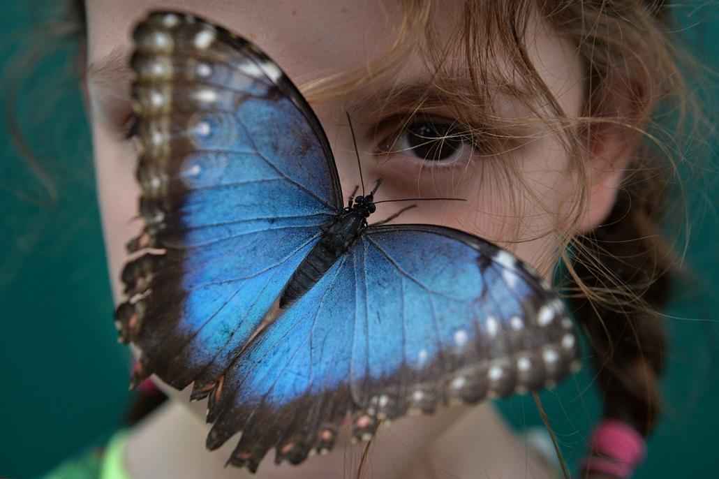 afp.14.03.31. - London, Egyesült Királyság: Morpho peleides pillangó ül egy gyermek orrán a Természettudományi Múzeum a ''Szenzációs pillangók'' kiállításon a szabadtéri pillangóházban - lepke - 7képei