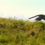 Fekete párducot üldöznek Olaszországban