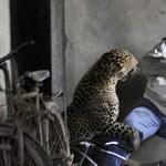Felkavaró képek: megskalpolt egy férfit és ölt is egy elszabadult leopárd