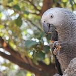 Videó: meglepő, milyen jó az intelligenciatesztekben ez a papagáj