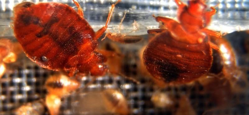 Ágyipoloska-invázió a Honvédkórházban: a főorvos szerint túlreagálják az orvosok, a miniszter szerint irtják a rovarokat