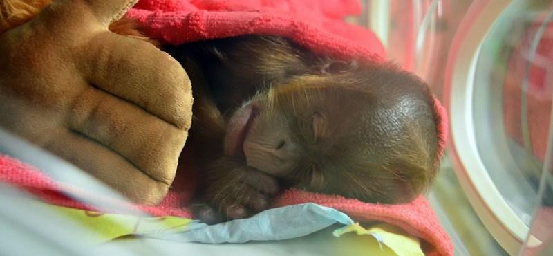 Fotók: Elárvult orangutánbébit nevelnek inkubátorban Budapesten