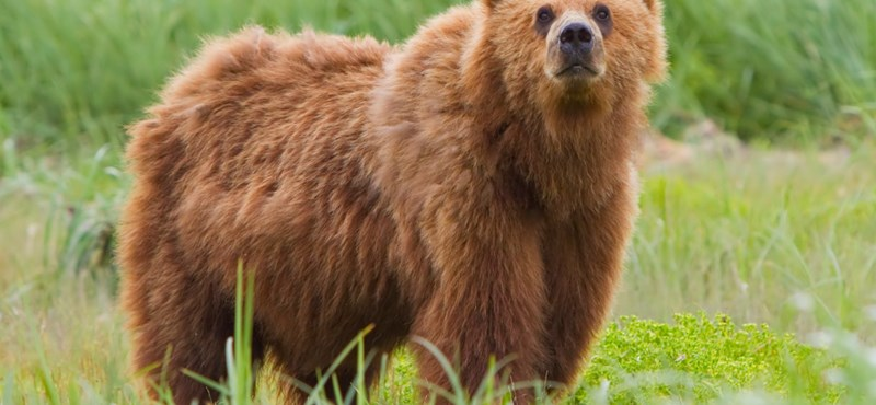 Megakadtak a román döntéshozók torkán a barnamedvék