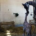 Miért tudnak járni az újszülött állatok, és az emberek miért nem?