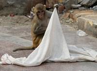 Majom rabolt el és ölt meg egy csecsemőt Indiában