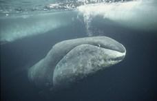 Sérült bálnaborjút mentettek a Temzén