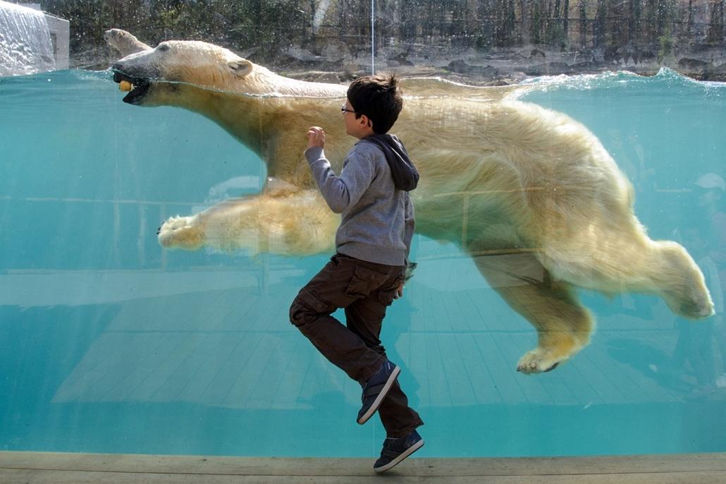 afp.14.04.02. Mulhouse, Franciaország: jegesmedve a helyi állatkertben - 7képei