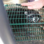 Fotó: Mosómedvét fogtak a IX. kerületben