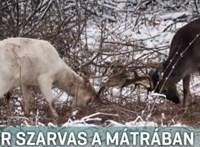 Fehér szarvast fotóztak a Mátrában
