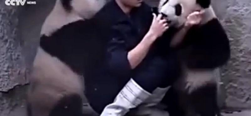 Két pandabocs felrobbantotta a cukiságbombát - videó