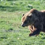 A miskolci medve elől épphogy be tudott ugrani a kocsijába egy gazda