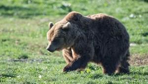 Miért jöttek vissza Magyarországra a medvék, farkasok, hiúzok?